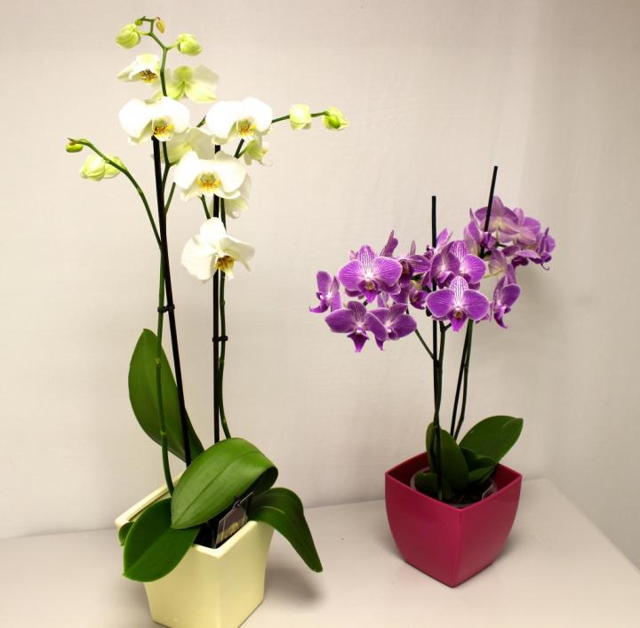 comment faire refleurir une orchidee