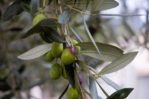 pourquoi faire tremper les olives