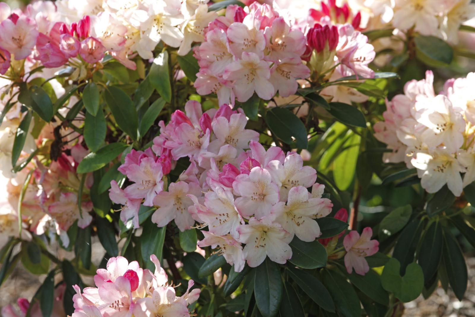 ou et comment planter un rhododendron en pleine terre - Le comment faire