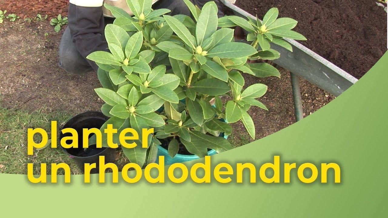 ou et comment planter un rhododendron en pleine terre - Le ...